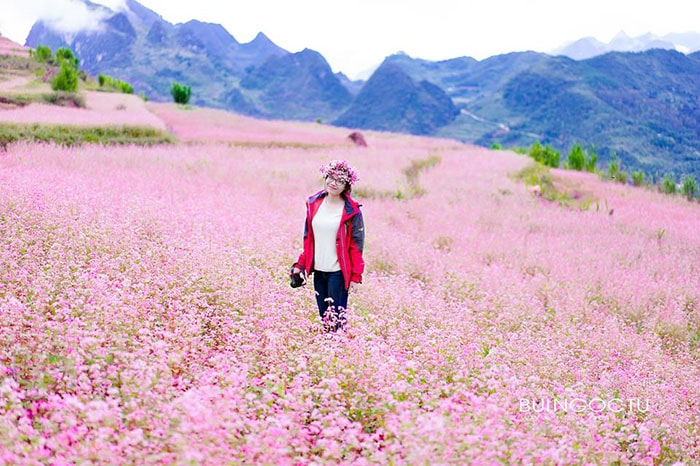 Cánh đồng hoa tam giác mạch ngập tràn sắc hồng