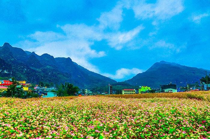 Hoa tam giác mạch nở rộ ở Hà Giang