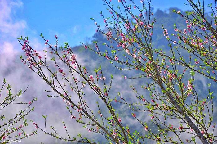 Sapa mùa xuân ngập tràn sắc hồng của hoa đào