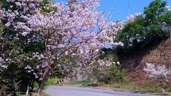Điện Biên mùa hoa ban là mùa đẹp nhất