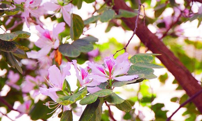 Tháng 4 Hà Giang ngập tràn sắc tím của hoa ban
