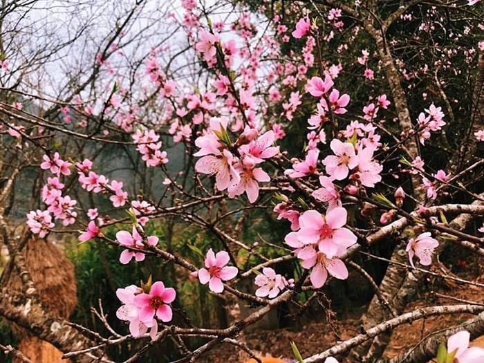 Tháng 3 lên Sapa sẽ được ngắm hoa đào nở muộn