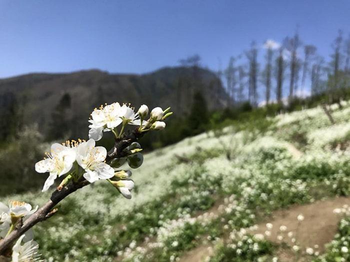 Tháng 3, Sapa có hoa lê trắng