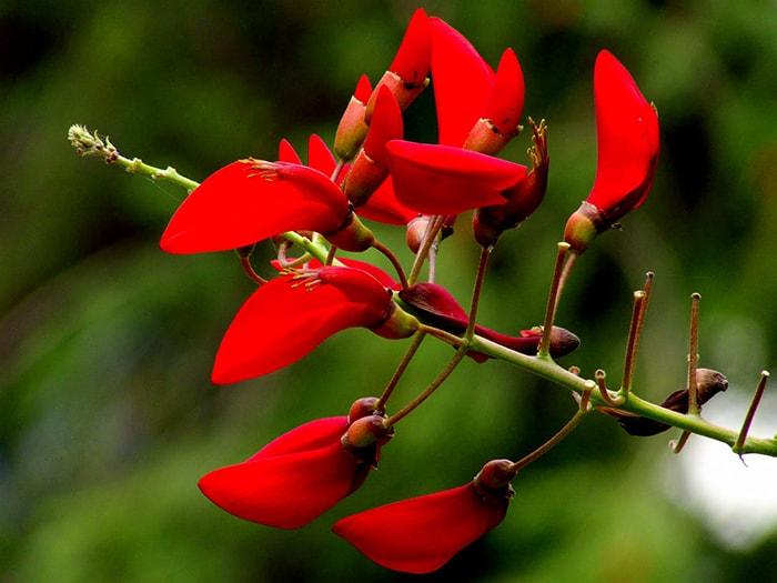 Tháng 4, đỏ rực màu hoa vông đỏ