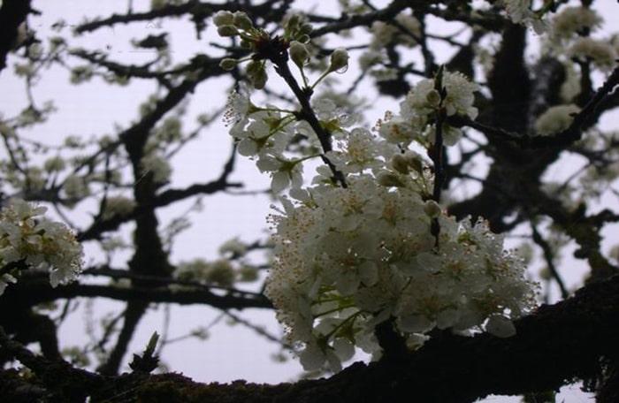 Hoa mận nở trắng trong khu rừng mận cổ ở Sapa