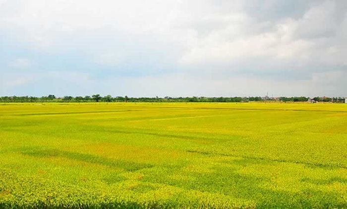 Vẻ đẹp của cánh đồng Mường Thanh mùa lúa chín