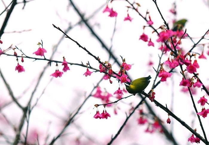 Hoa anh đào khoe sắc vào mùa xuân ở Pá Khoang