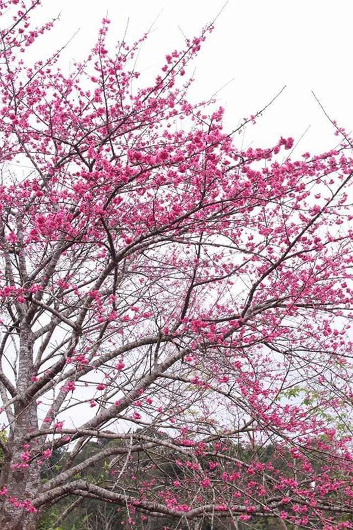 Hoa anh đào ở Pá Khoang, Điện Biên