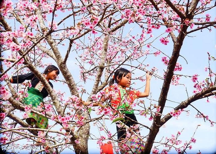 Mùa hoa anh đào ở hồ Pá Khoang