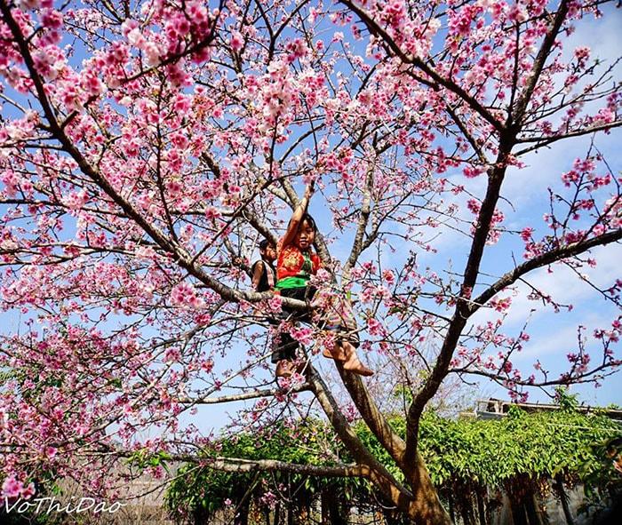 Mùa hoa anh đào ở Pá Khoang, Điện Biên