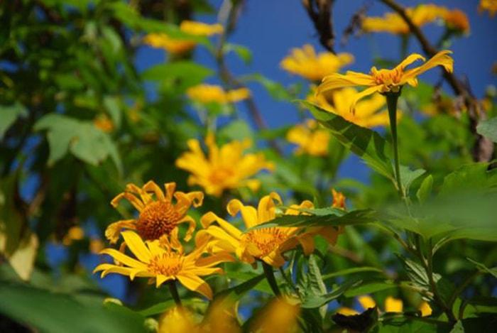 Du lịch Điện Biên mùa hoa dã quỳ tháng 12