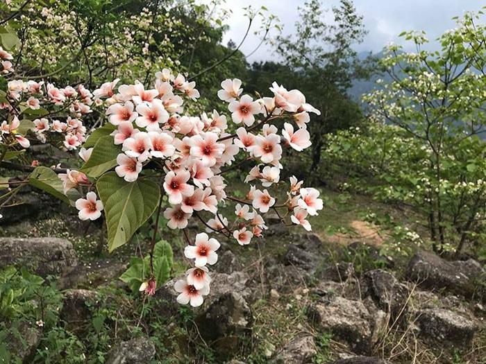 Bình Liêu mùa hoa trẩu cuối tháng 3, đầu tháng 4 tuyệt đẹp