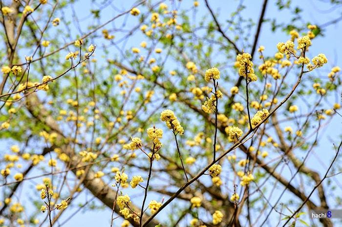 Cây chí cò nở hoa vàng rực rỡ
