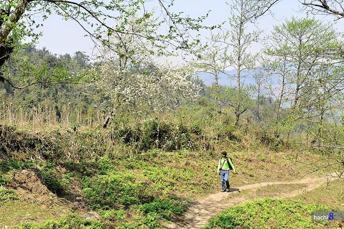 Cây sơn tra nở trắng muốt trên đường trekking Lảo Thẩn