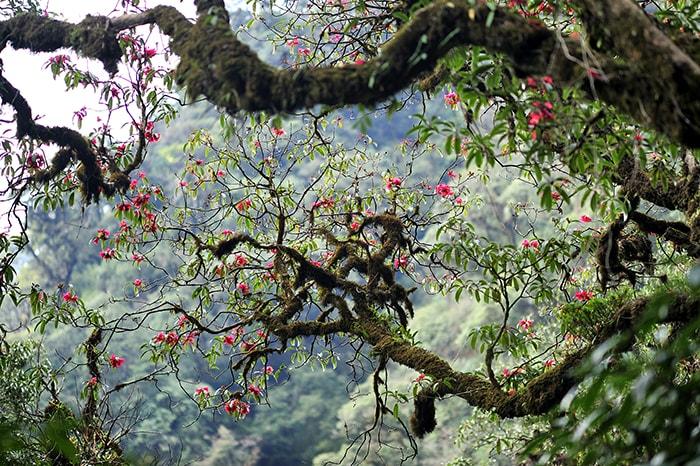 Mùa hoa đỗ quyên trên đỉnh Fansipan