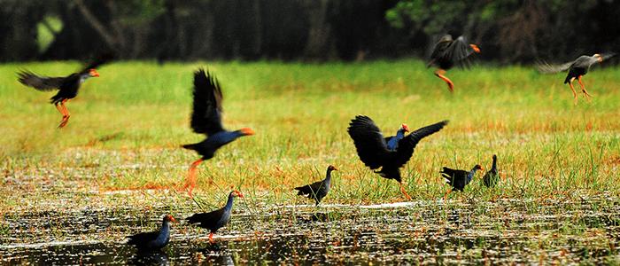 Sếu đầu đỏ trong vườn quốc gia Tràm Chim