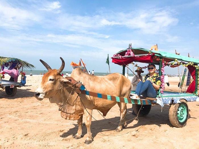 Dịch vụ đi xe bò khám phá bãi biển ở LaGi Coco Beach