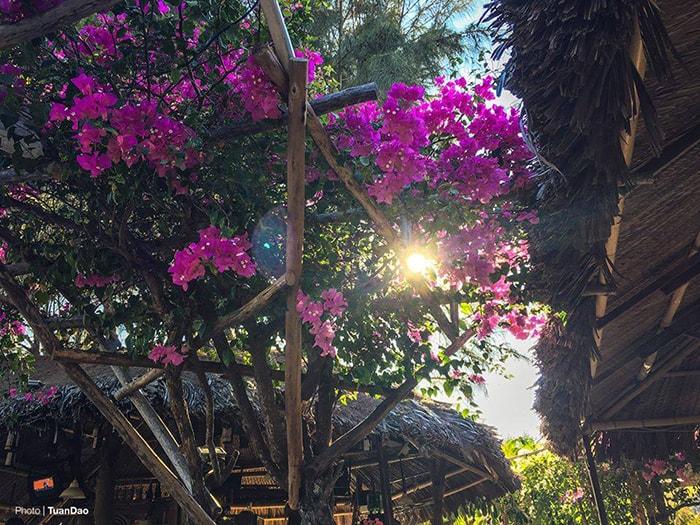 Cây hoa giấy rực rỡ ở Coco Beach