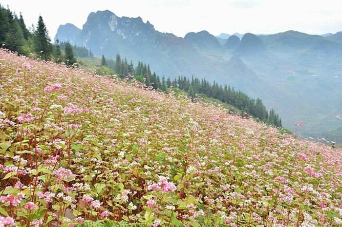 Mùa hoa tam giác mạch ở Hà Giang thường có vào cuối năm