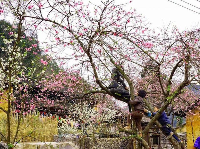 Mùa hoa đào, hoa mận Hà Giang