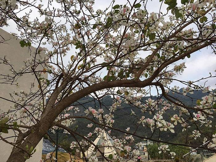 Mùa hoa ban Mộc Châu tháng 3
