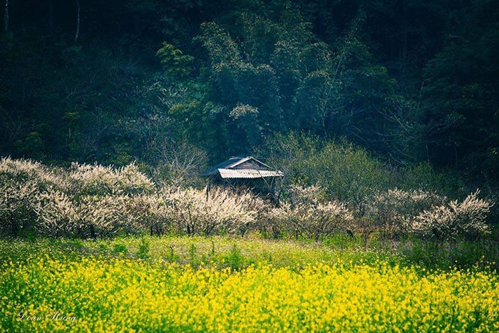 Mùa hoa cải Mộc Châu nở rộ vào tháng 12
