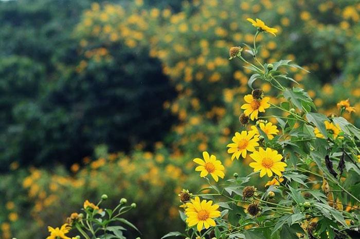Mùa hoa dã quỳ Mộc Châu nở vào khoảng tháng 11