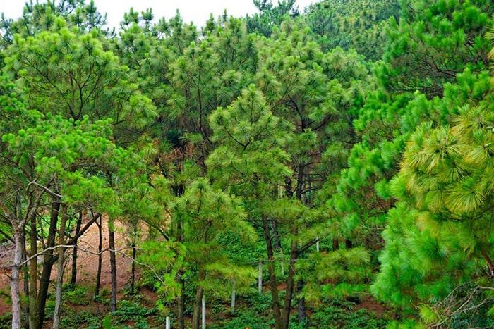 Khu rừng thông bên cạnh Nhà bên Rừng