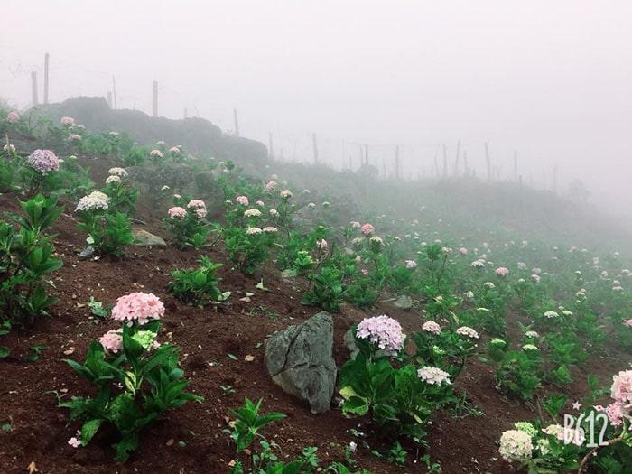 Hoa cẩm tú cầu được trồng ở Vườn Mộng Mơ, Mộc Châu