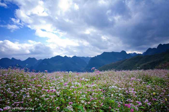 Hoa tam giạc mạch Hà Giang