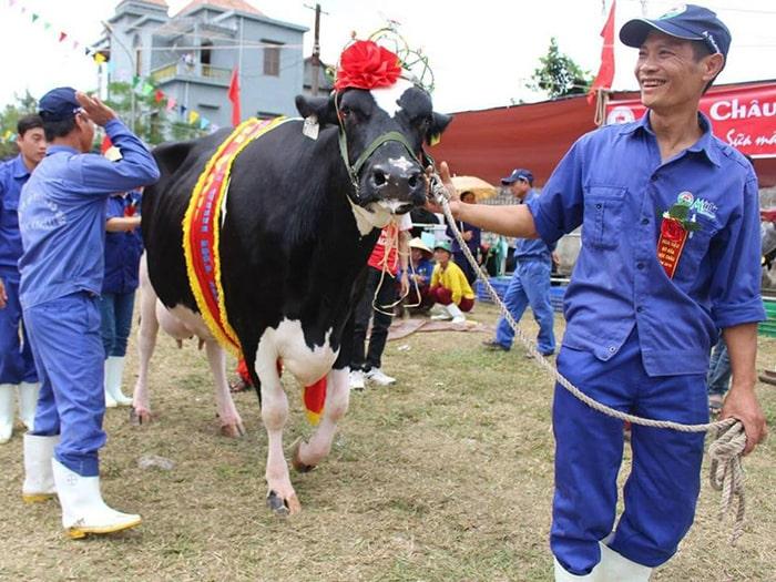 Lễ hội bò sữa hay cuộc thi hoa hậu bò chỉ có ở Mộc Châu