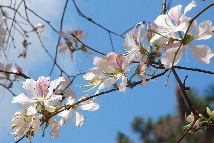 Hoa ban Mộc Châu