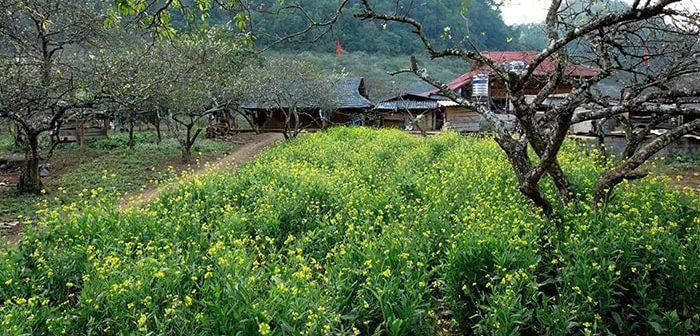 Vẻ đẹp của Bản Ba Phách - Thiên đường hoa cải ở Mộc Châu