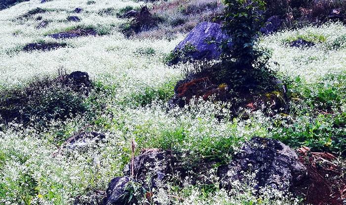 Hoa cải chen nhau mọc trên đá ở bản Pa Phách