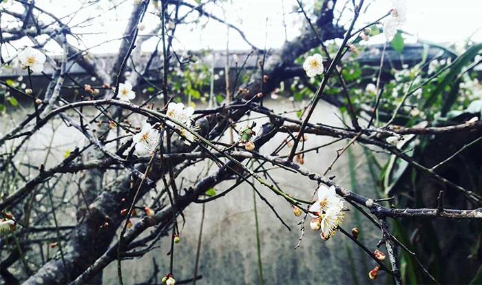 Hoa mận nở trắng ở bản Ba Phách