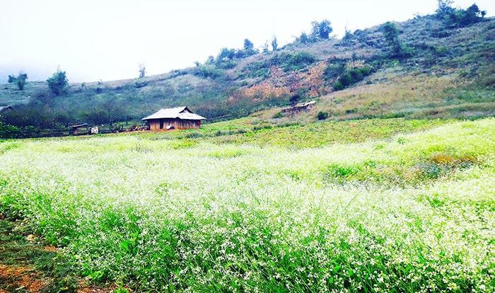 Ngôi nhà nhỏ giữa cánh đồng hoa cải trắng ở Ba Phách