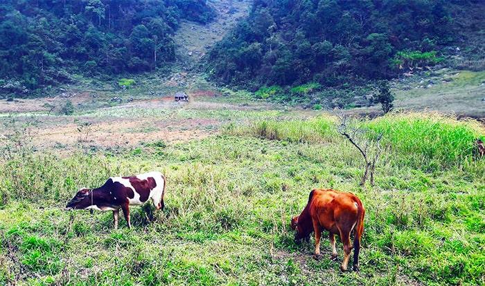 Những chú bò ở bản Ba Phách