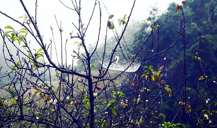Những tấm mạng nhện chăng trên cây mận