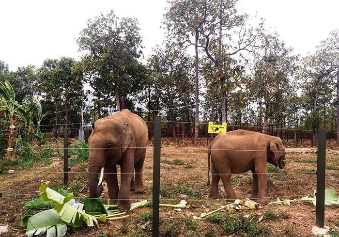 Những chú voi được nuôi ở Buôn Đôn