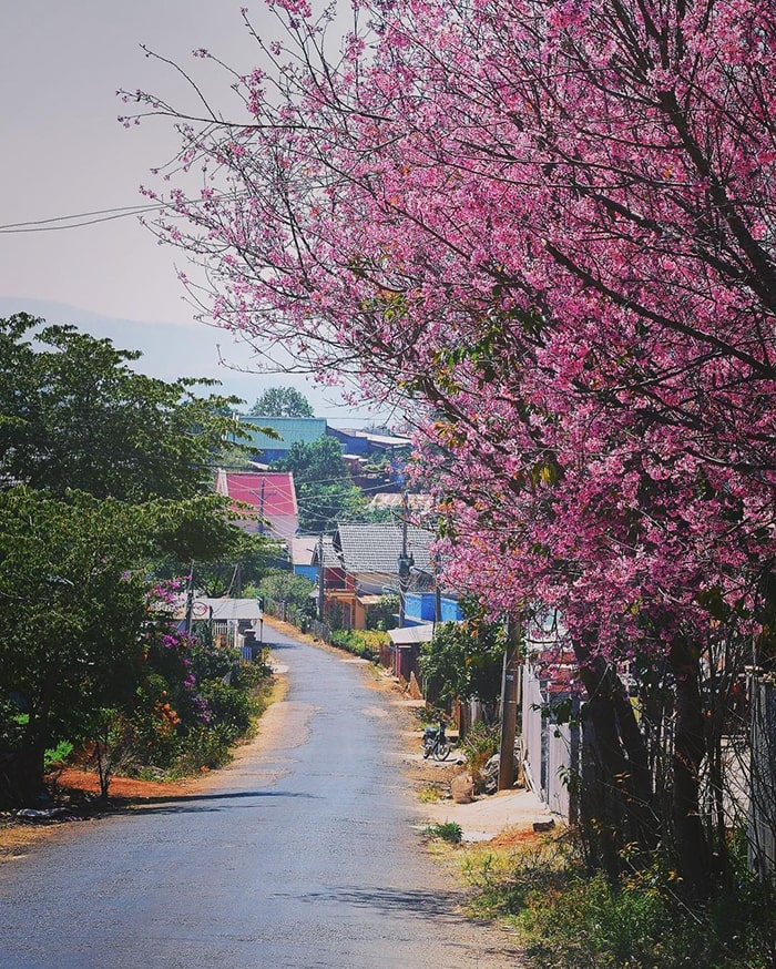 Đà Lạt tháng 3 là mùa rực rỡ của hoa anh đào
