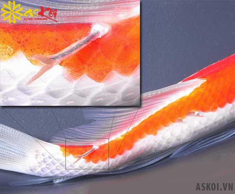 Cá Koi bị trùng mỏ neo