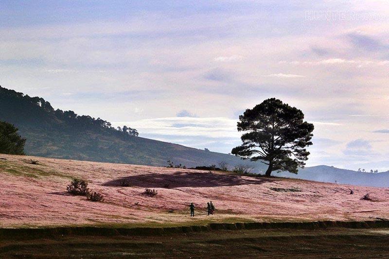 Đồi cỏ hồng ở cây thông cô đơn